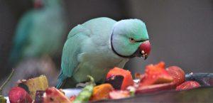 Попугай ест фрукты